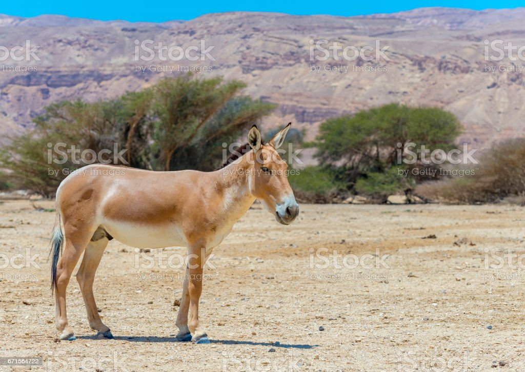 Onager (Equus hemionus) is a brown Asian wild donkey stock photo