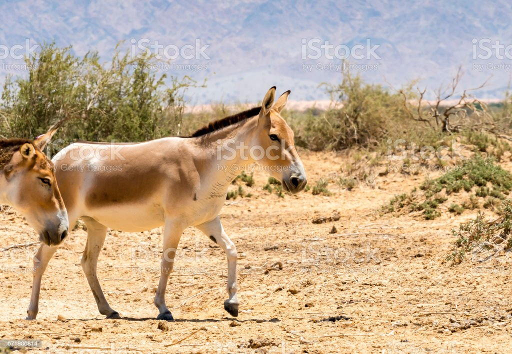 Onager is a brown Asian wild donkey stock photo