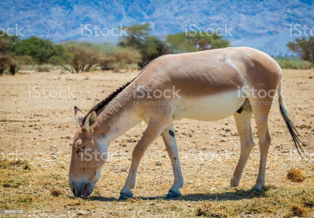 Onager is a brown Asian wild donkey (Equus hemionus) stock photo