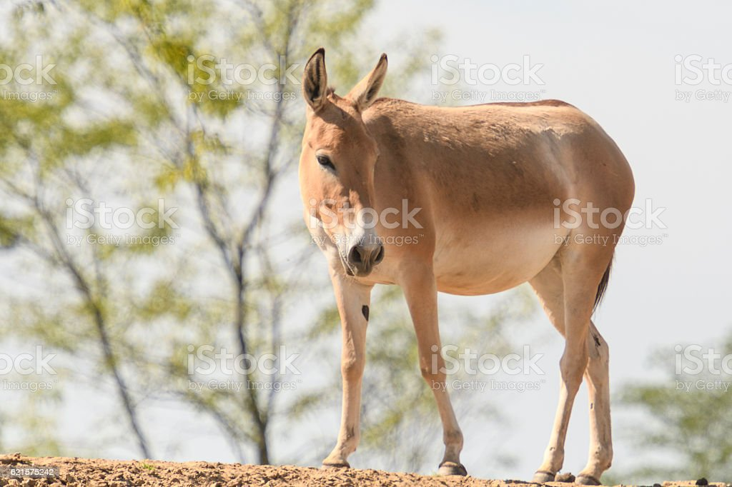 Onager or Hemione or Asiatic Wild Ass stock photo