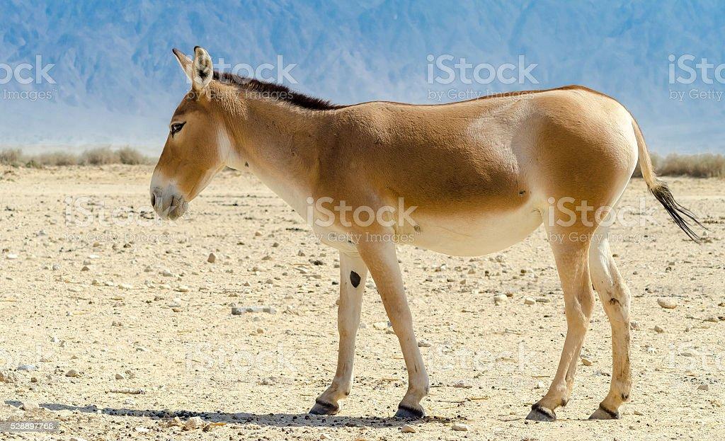 Onager (Equus hemionus) stock photo