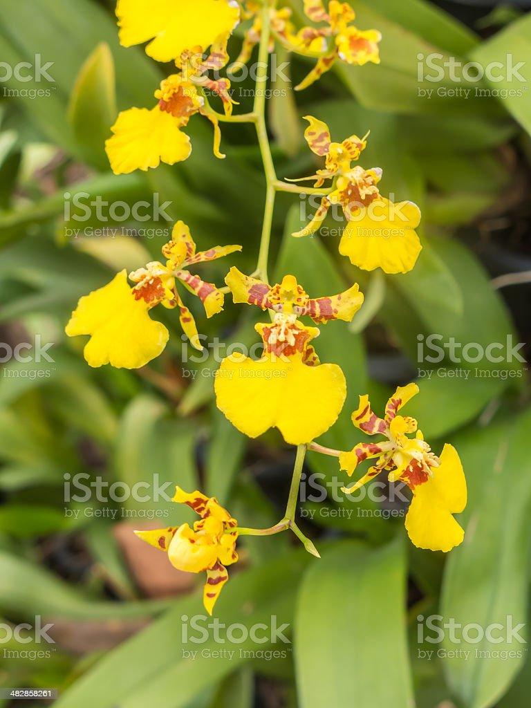 Oncidium orchid flower stock photo