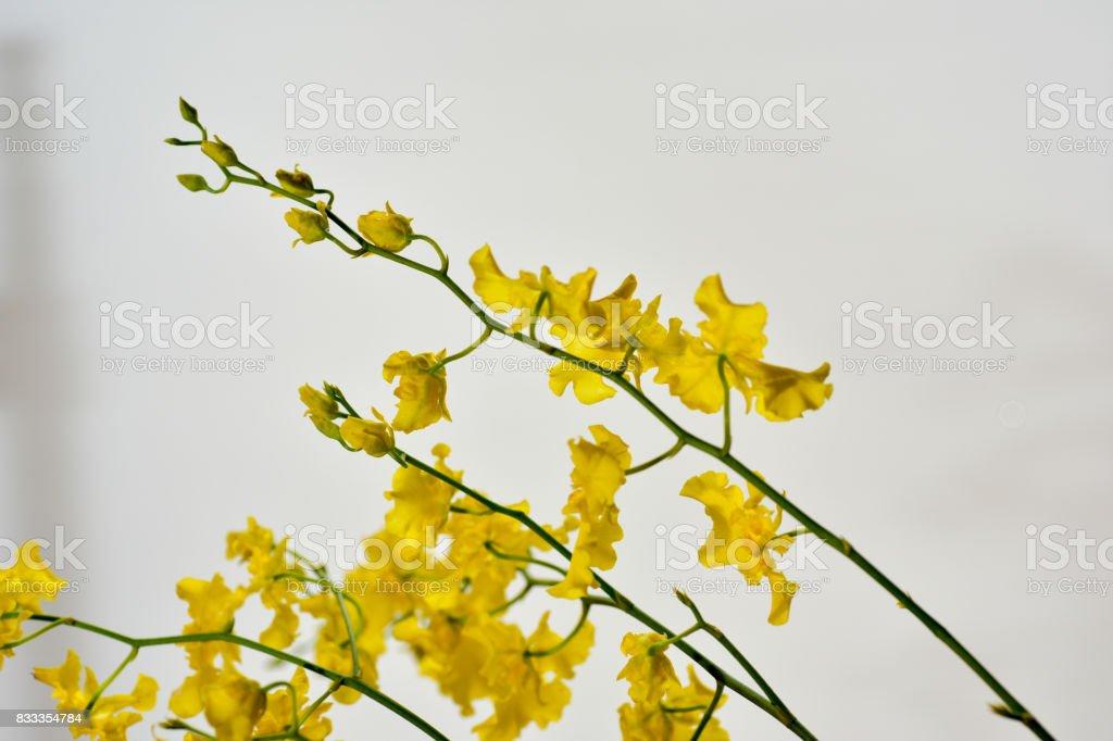 Oncidium stock photo