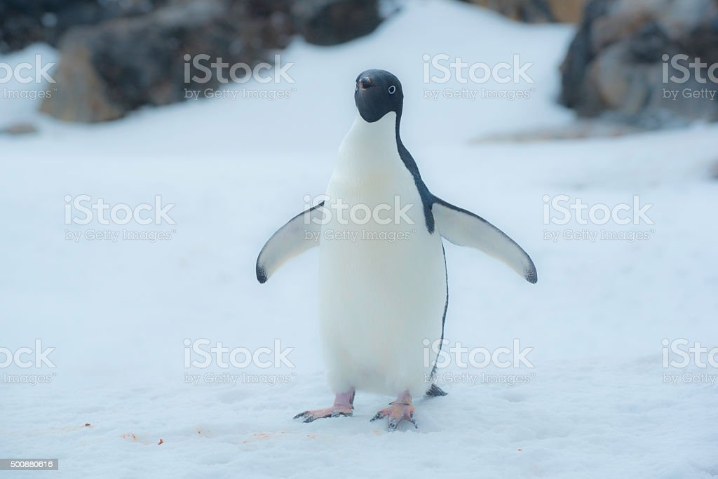 One Adelie Penguin stock photo