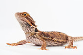 one agama bearded on the white background