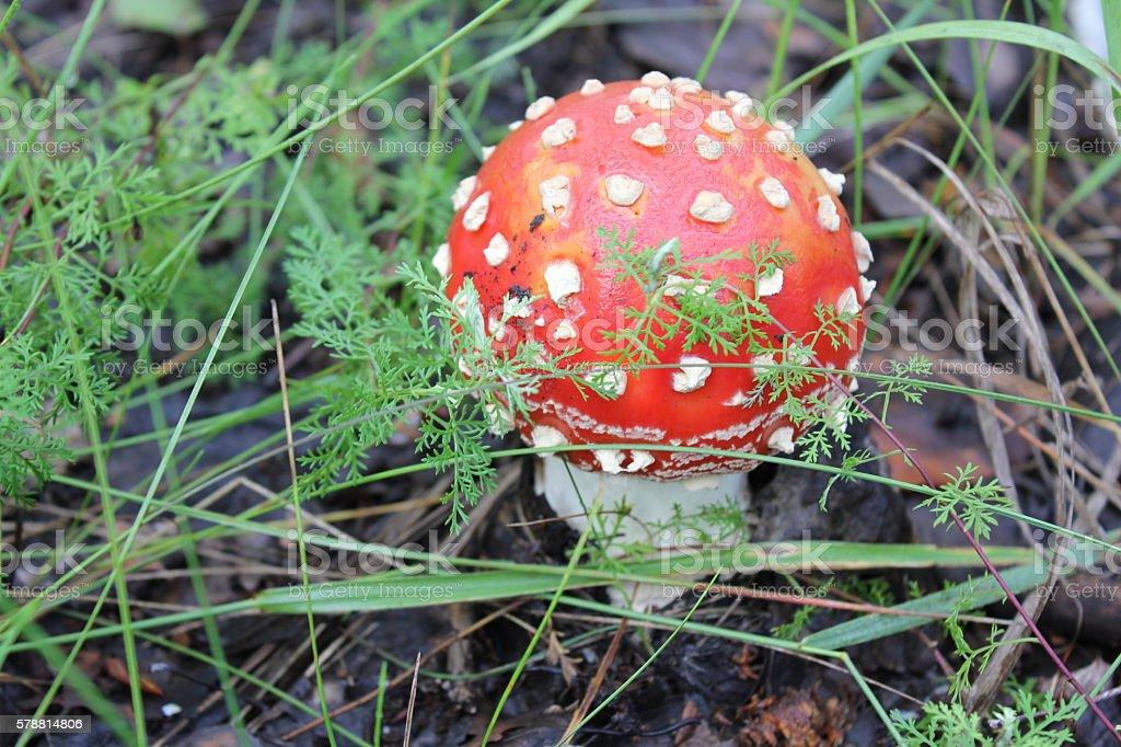 One amanita mushroom in forest glade 20050 stock photo