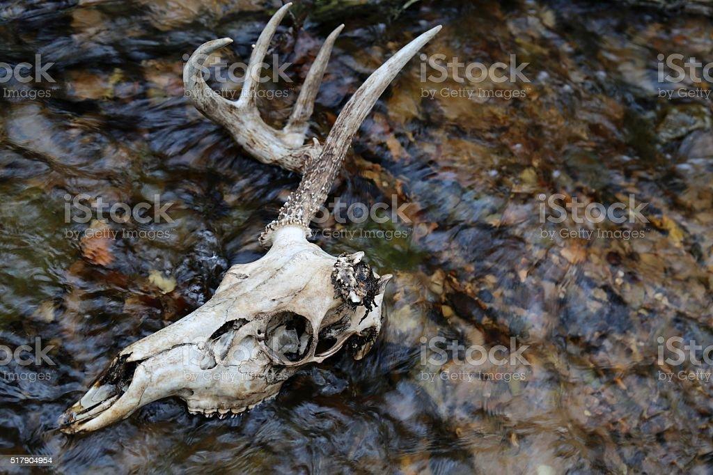 One antler deer skull in water stock photo