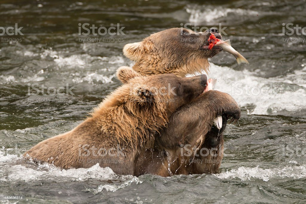 One bear holds salmon away from another stock photo