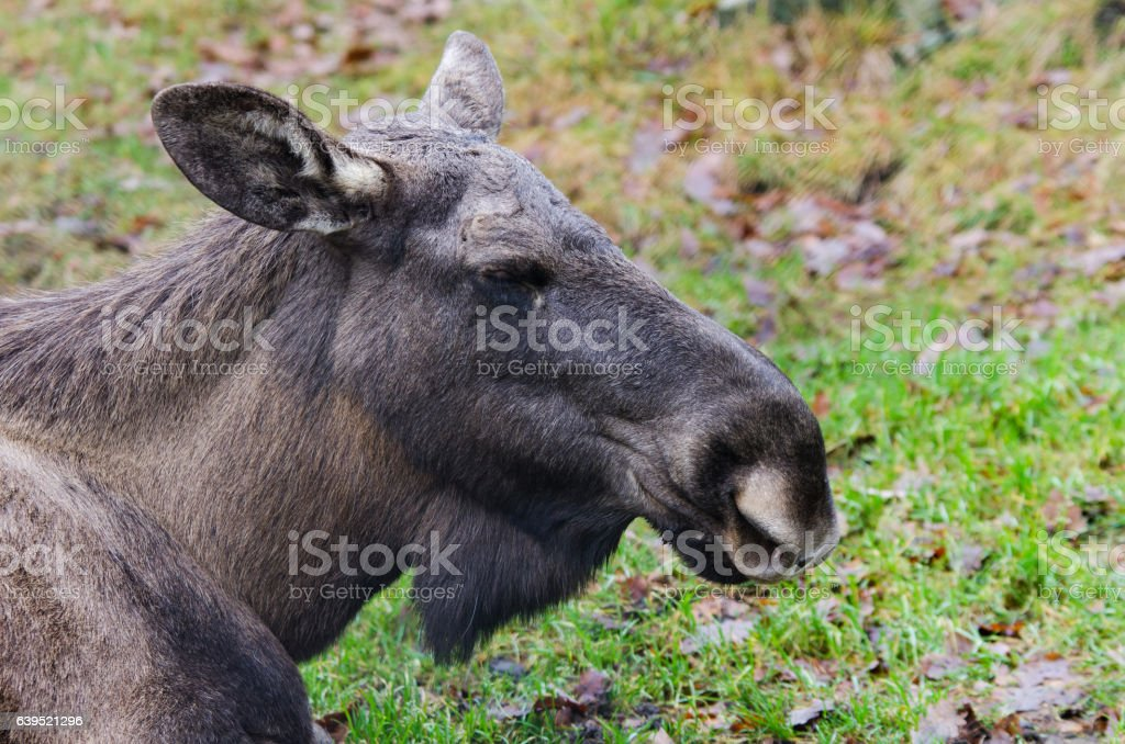one big mosse lay on the grass stock photo