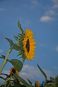 One big sunflower (Helianthus annuus) from the side