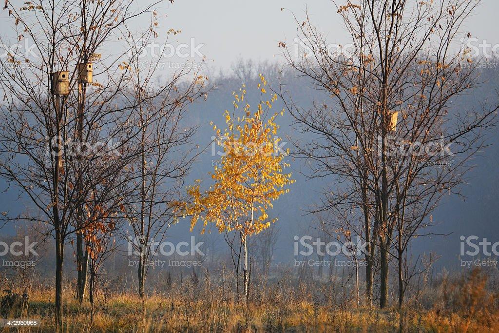 Una birch foto de stock libre de derechos