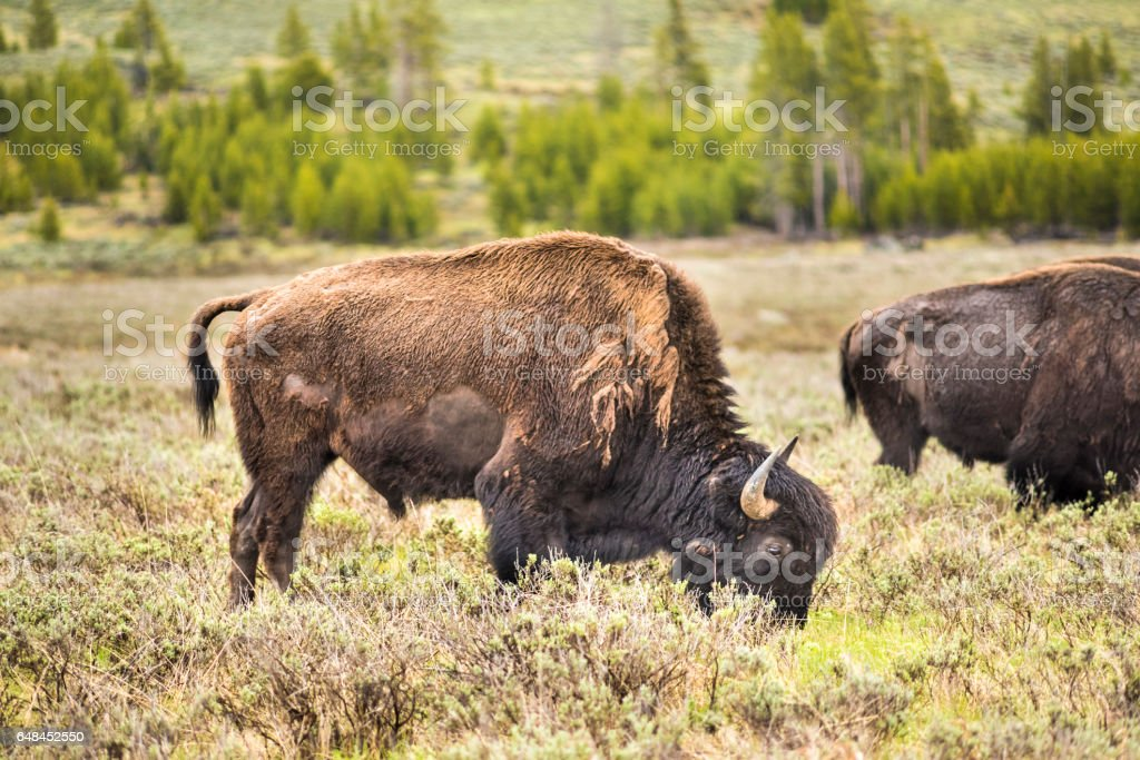 One bison looking down grazing in prairie in Yellowstone National Park stock photo
