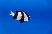 One black and white dascyllus trimaculatus fish in aquarium tank