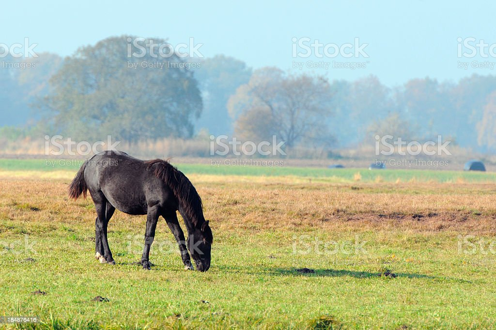 one black horse on a meadow in Brandenburg (Germany) stock photo