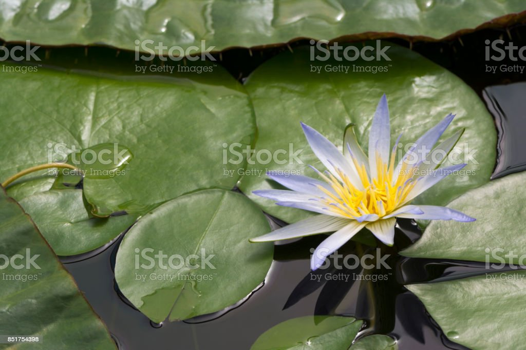 One Blue Lotus of Egypt, Nymphaea Caerulea Waterlilies stock photo