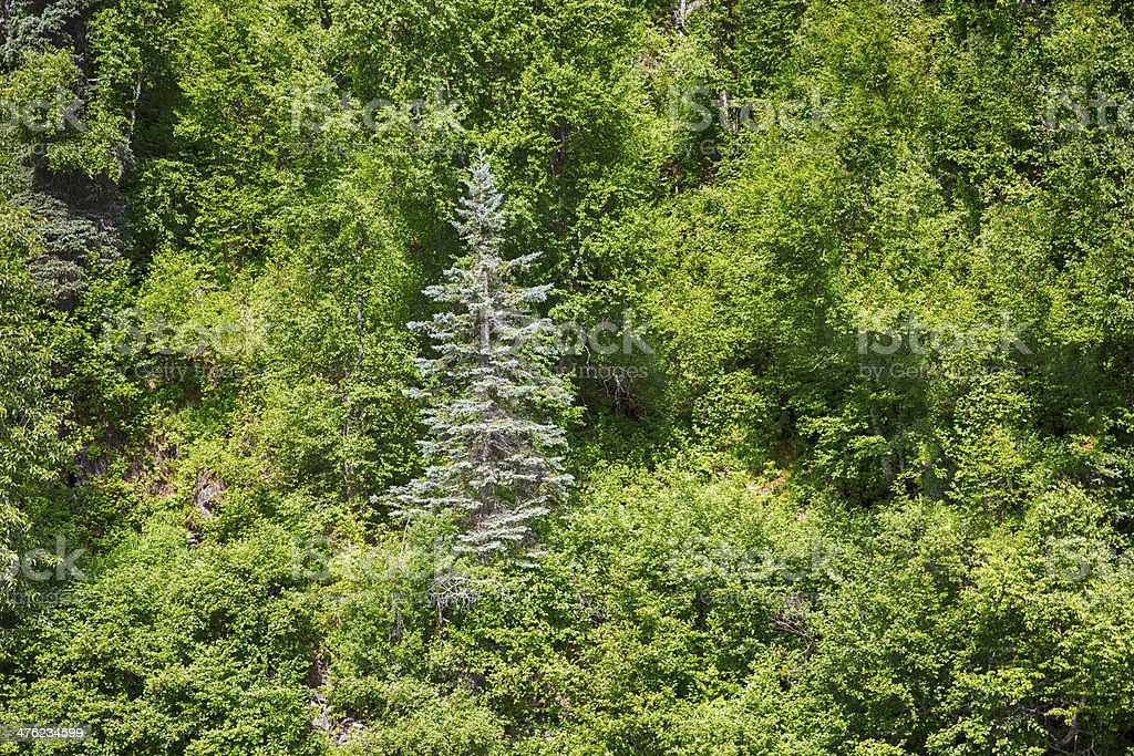 One Blue Spruce Tree in a forest royalty-free stock photo