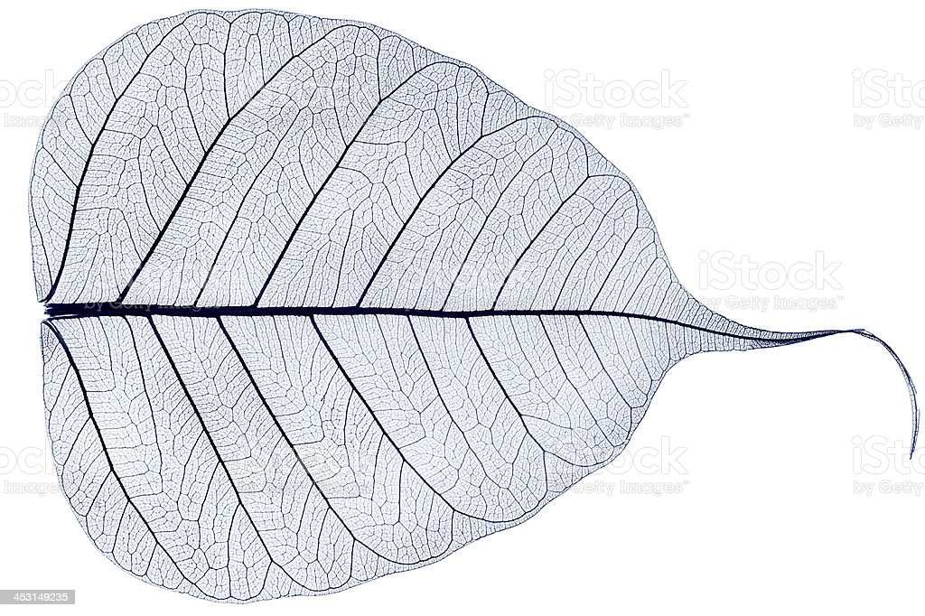 one blue transparent dried fallen leaf stock photo