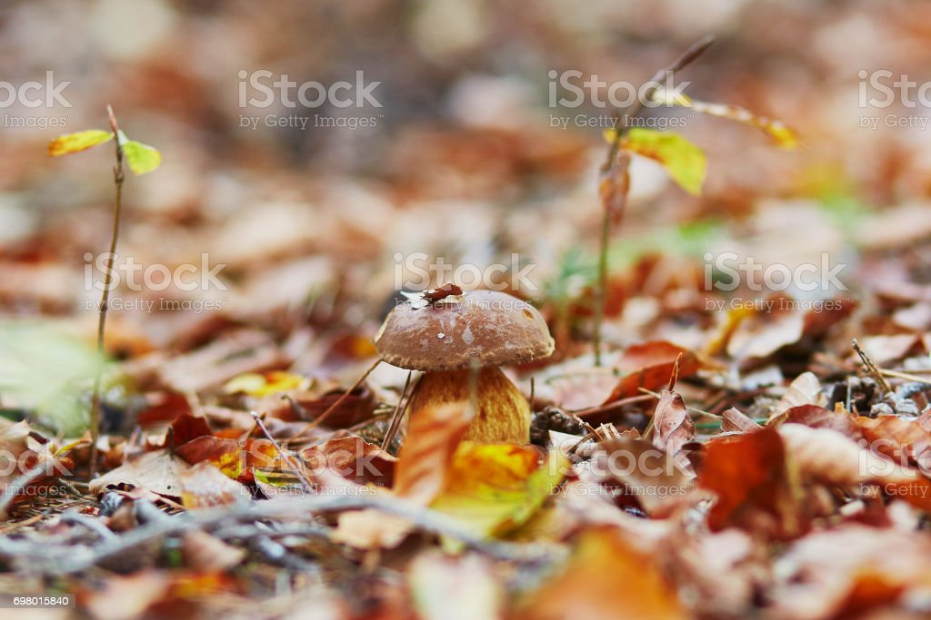 One boletus mushroom in forest stock photo
