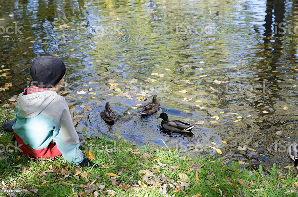 One boy feeding ducks in a pond stock photo
