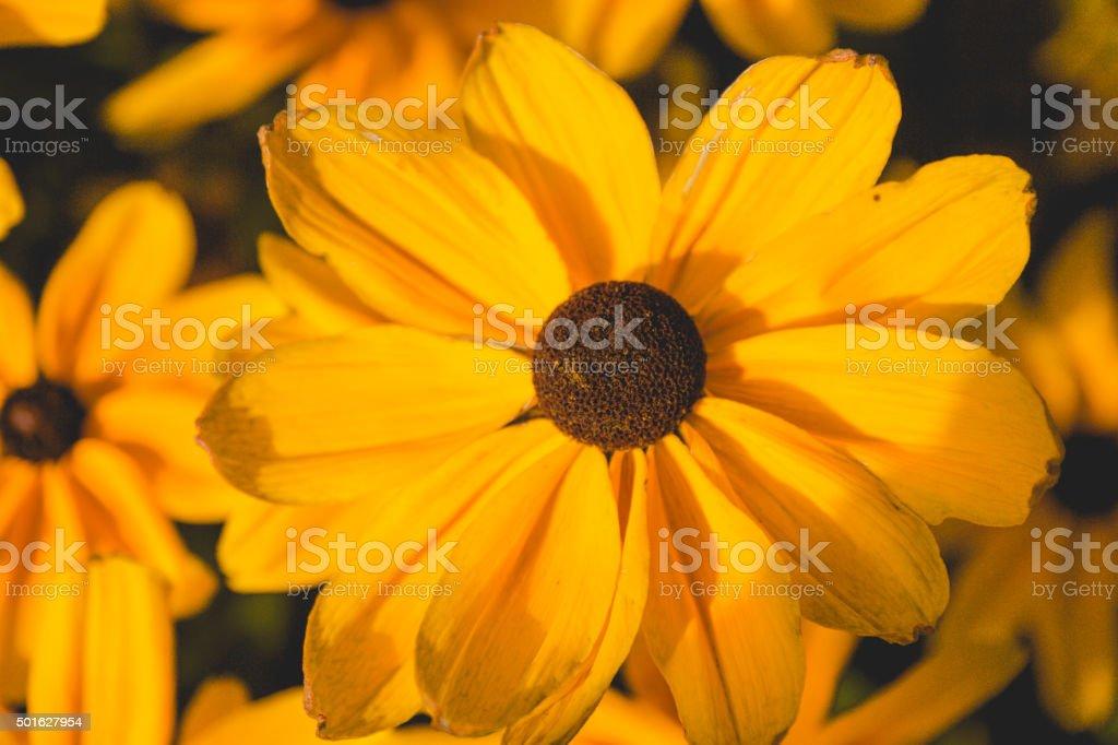 One brown eyed susan up close stock photo