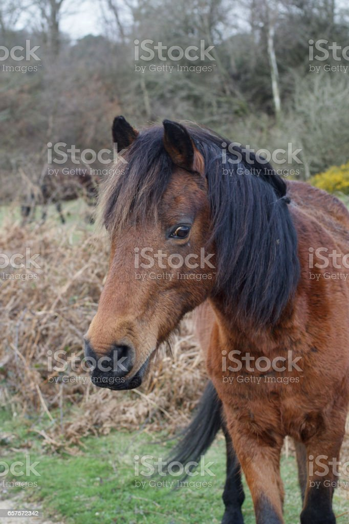 One brown New Forest pony in close up stock photo