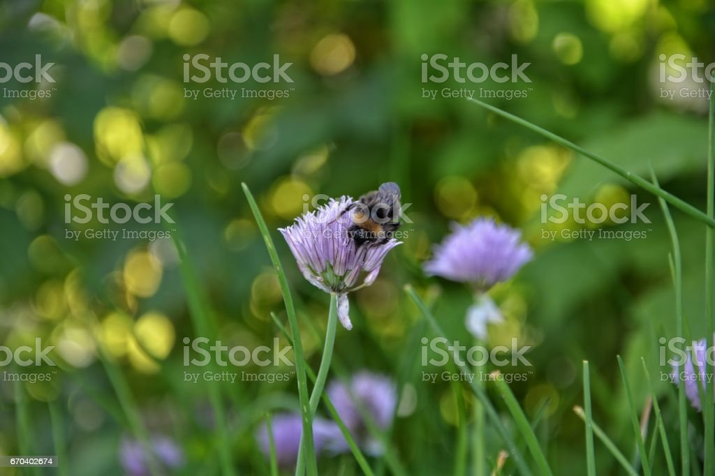 One Bumblebee on purple chive blossom stock photo