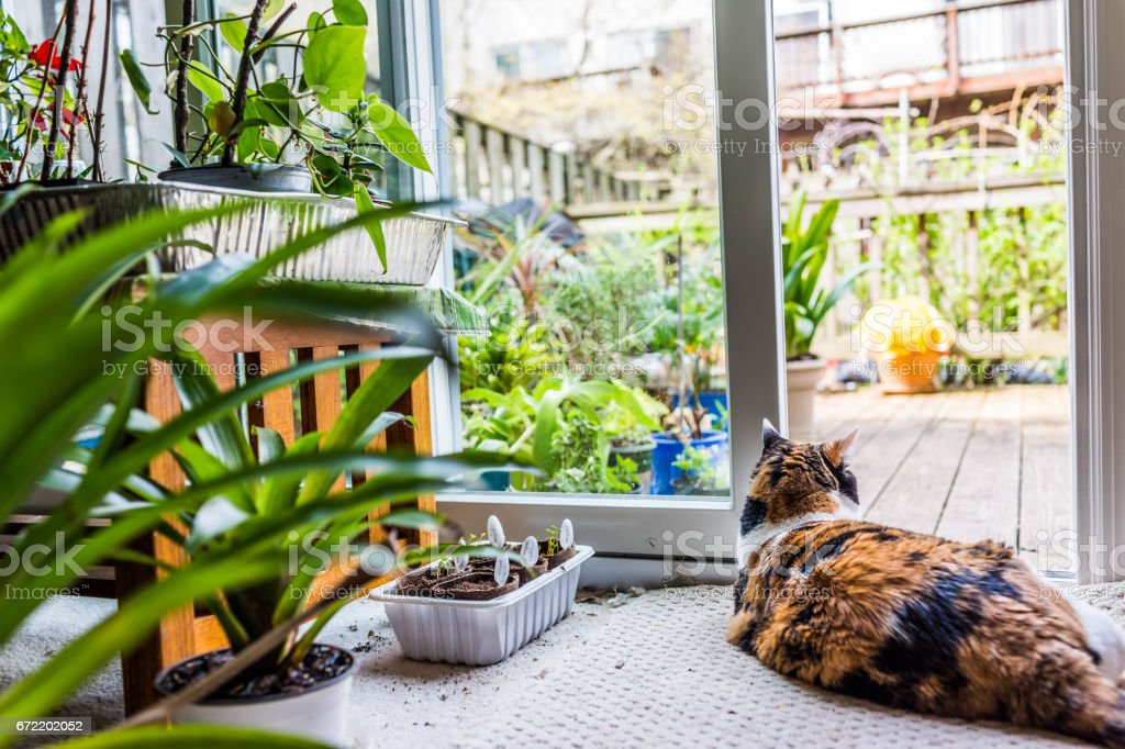 One calico cat lying down by plants by open door to backyard of house with garden stock photo