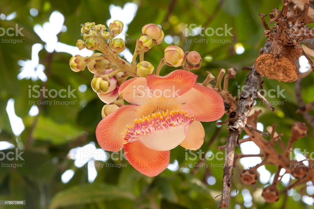 One cannonball flower royalty-free stock photo