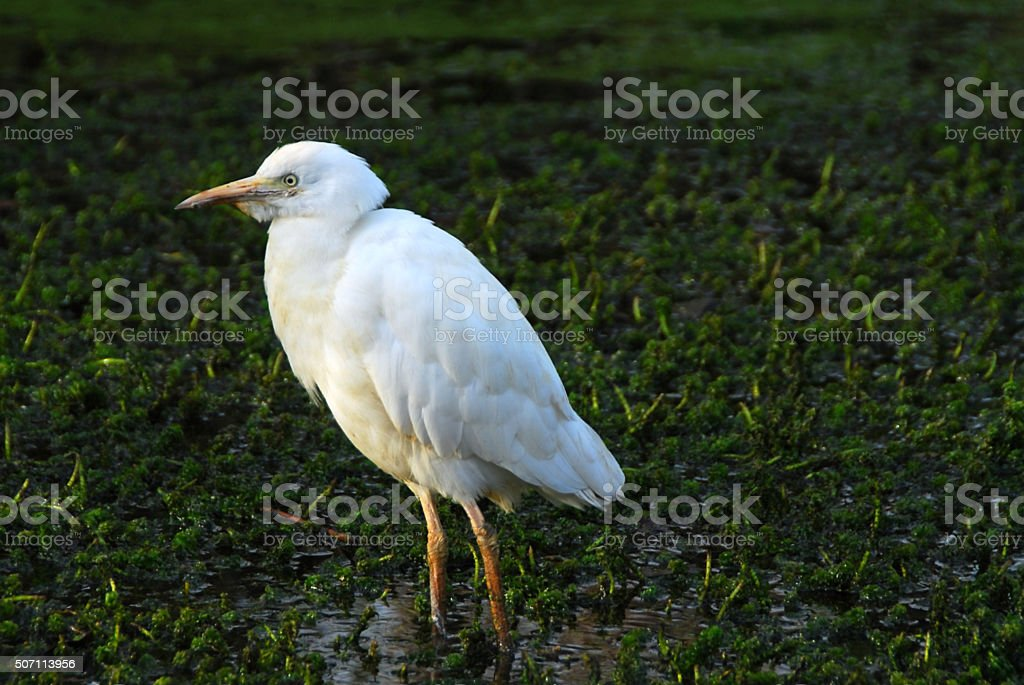 One cattle egret walking through the water weeds. stock photo