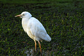 One cattle egret walking through the water weeds.