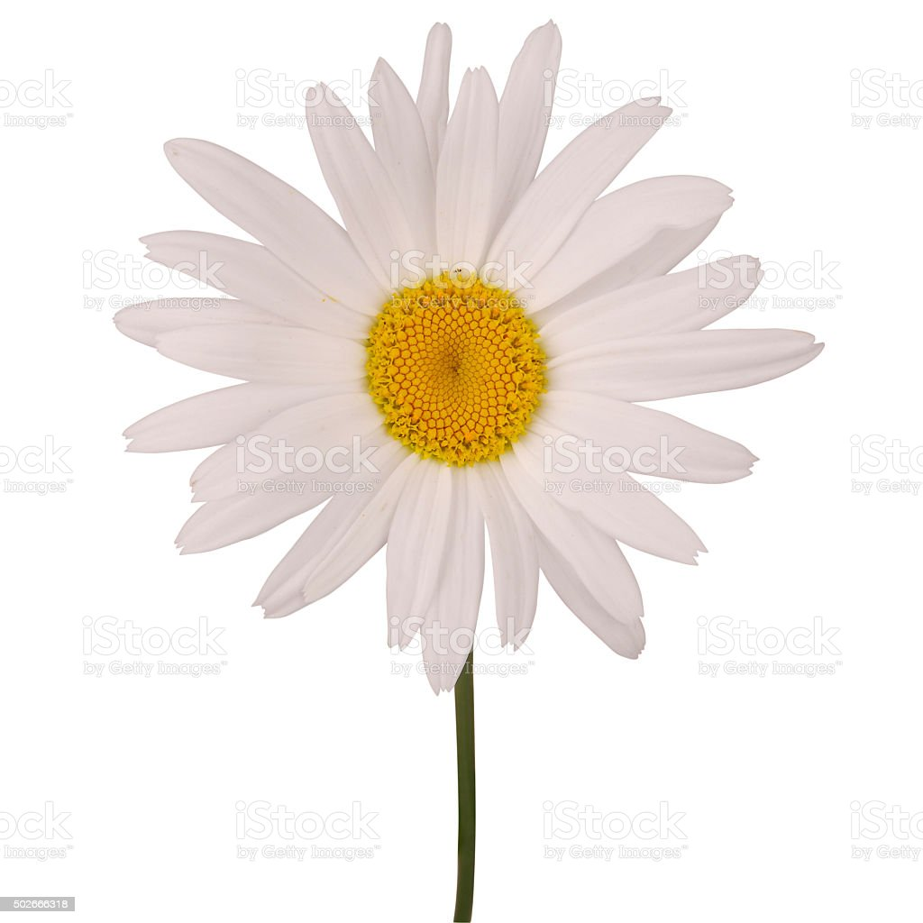 One chamomile flower (Clipping path) stock photo
