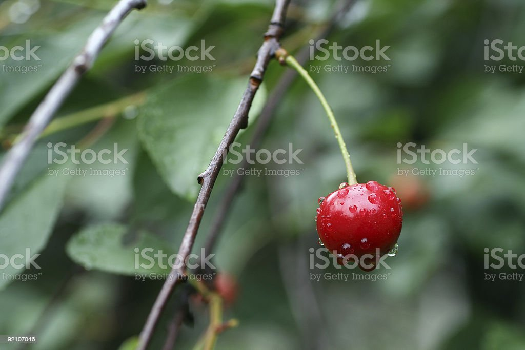One Cherry after rain royalty-free stock photo
