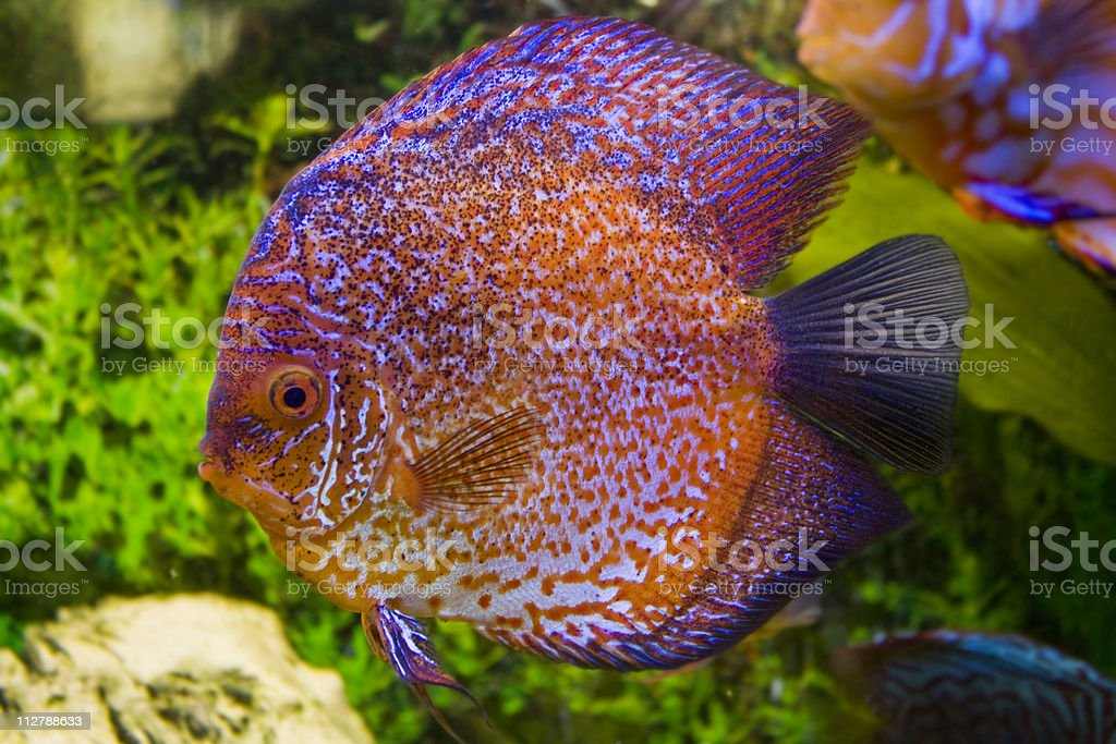 One colored discus royalty-free stock photo