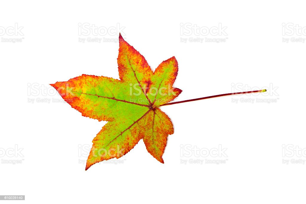 One colorful maple leaf in autumn on white stock photo
