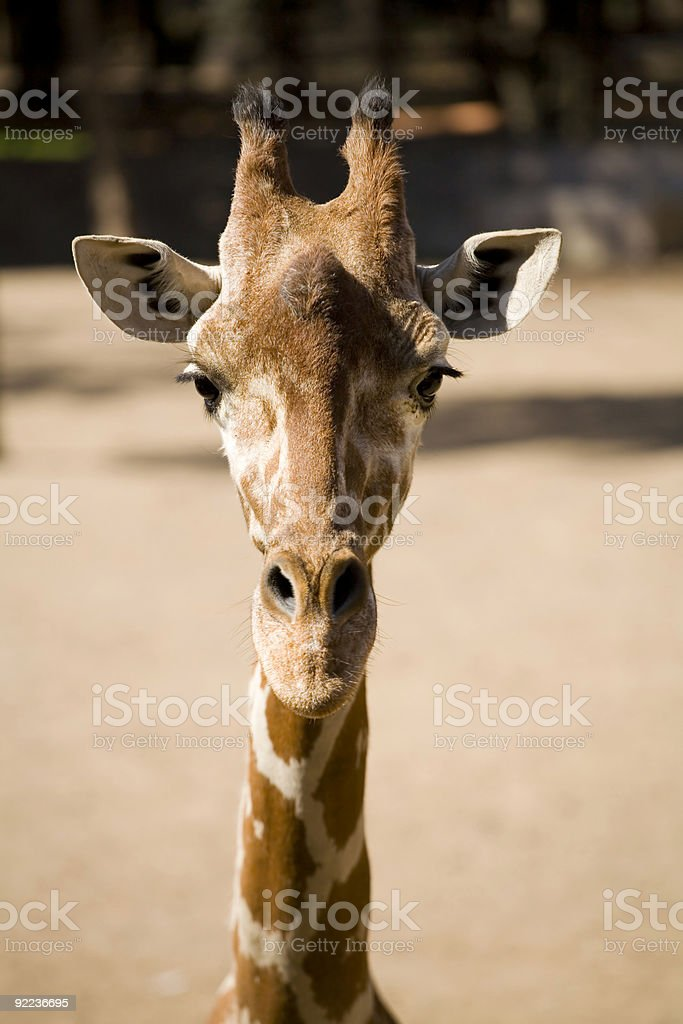 One Cool Giraffe royalty-free stock photo