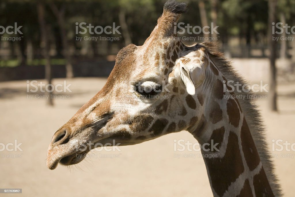 One Cool Giraffe royalty-free stock photo