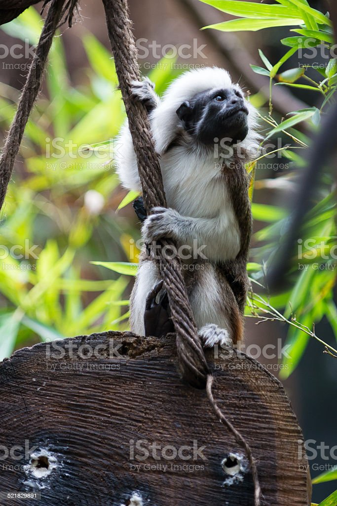 one Cotton-top Tamarin Monkey sits on wood holding at rope stock photo