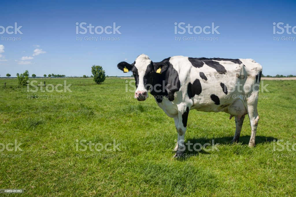 One cow on green meadow under blue sky stock photo