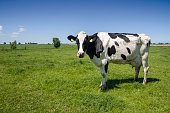 One cow on green meadow under blue sky