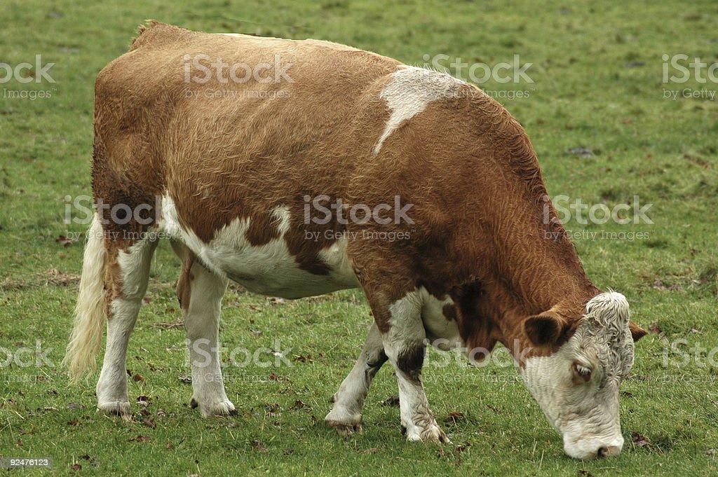 One cow stock photo