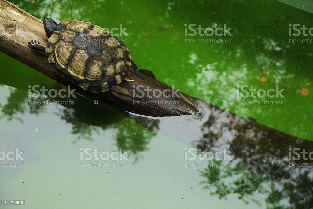 one cute small turtle in wildlife waters stock photo