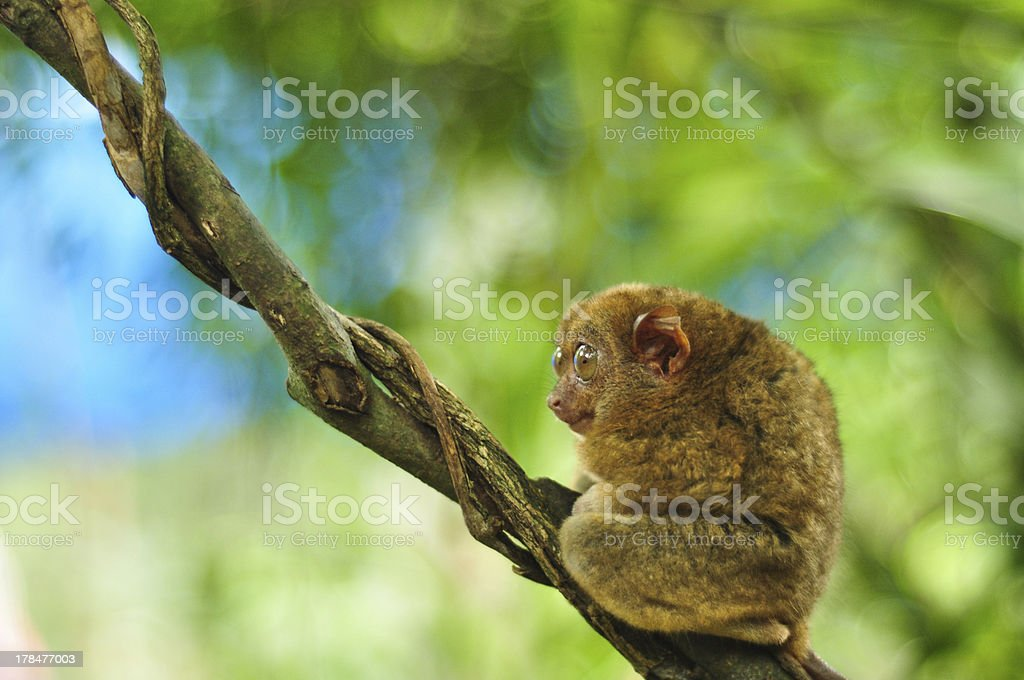 one cute tarsier in the tree royalty-free stock photo