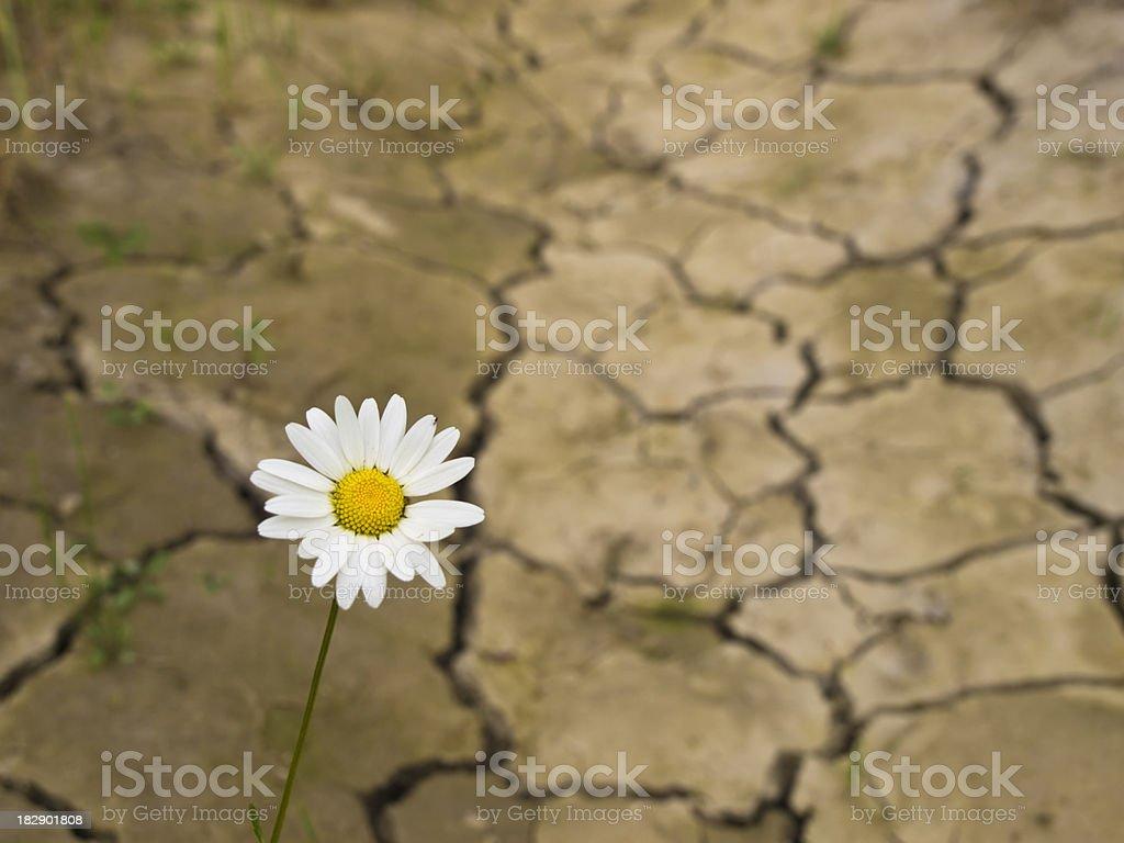One daisy in cracked earth stock photo