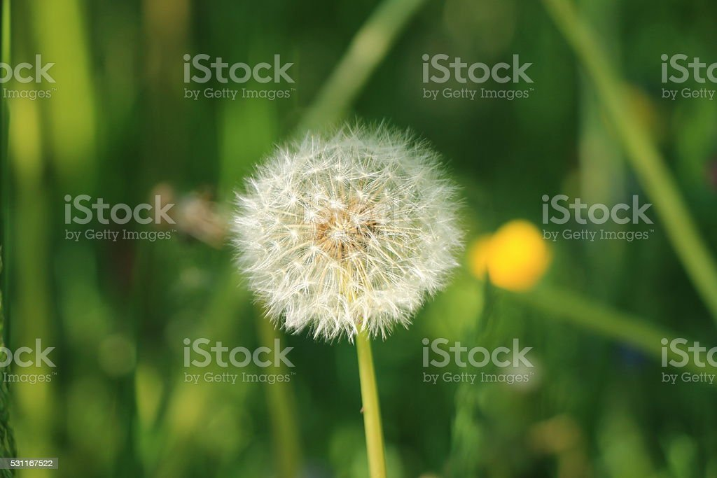 One dandelion in the grass stock photo