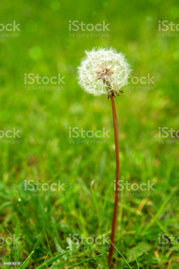 One dandelion on green background stock photo