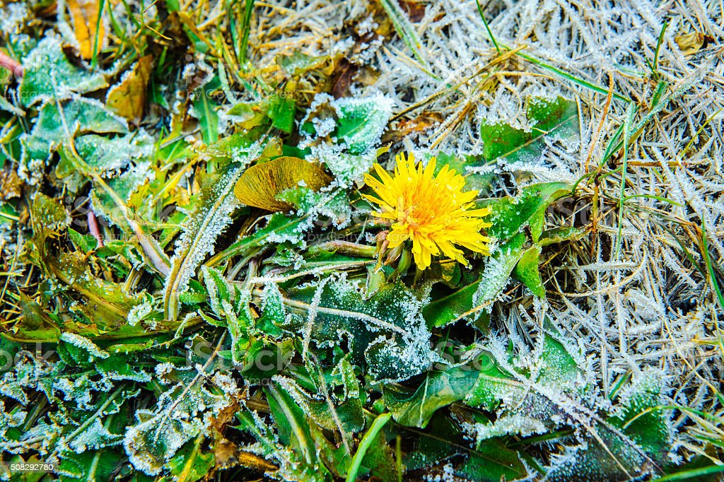 one dandelion with ice stock photo