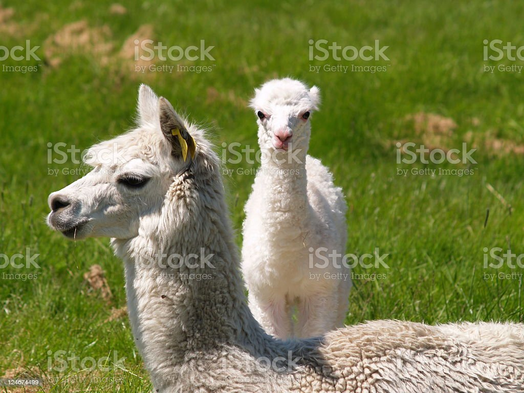 One day old Alpaca with mother royalty-free stock photo