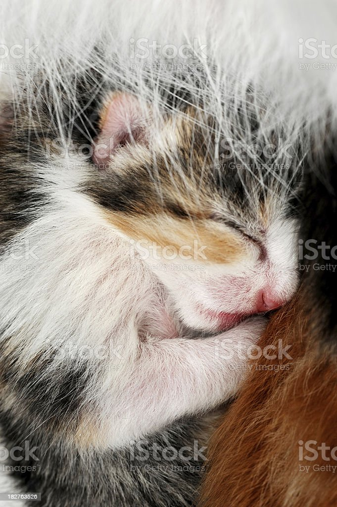 One day old blind newborn kitten royalty-free stock photo