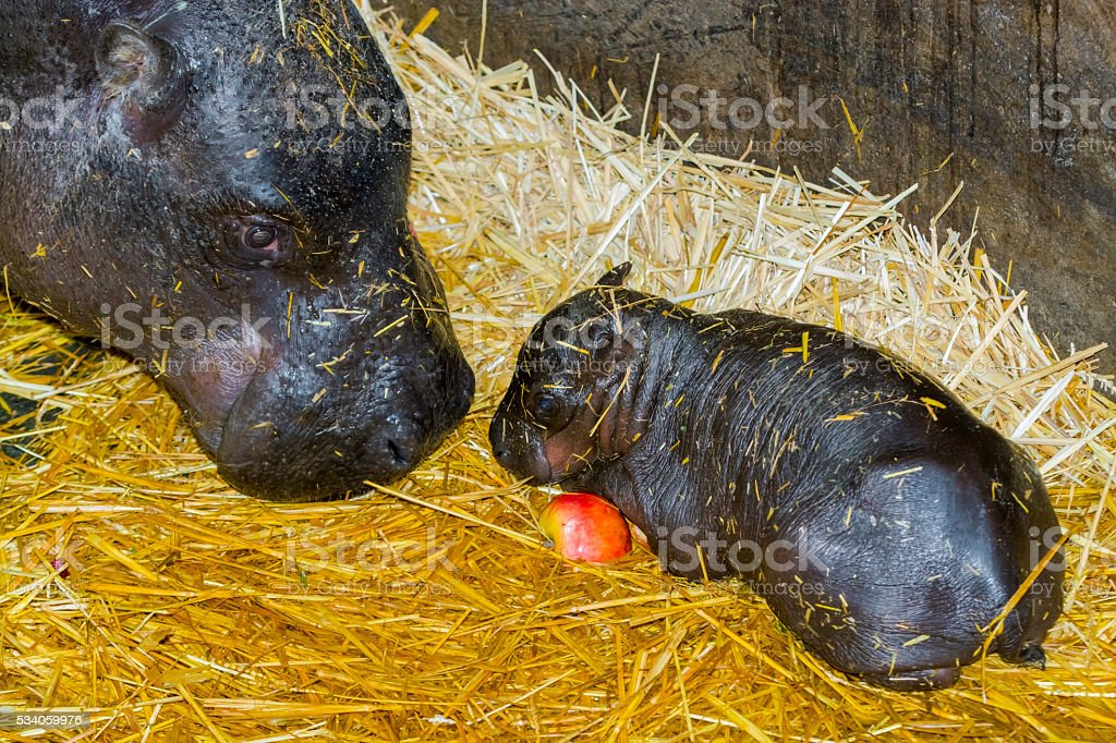 One day old pygmy hippo baby stock photo