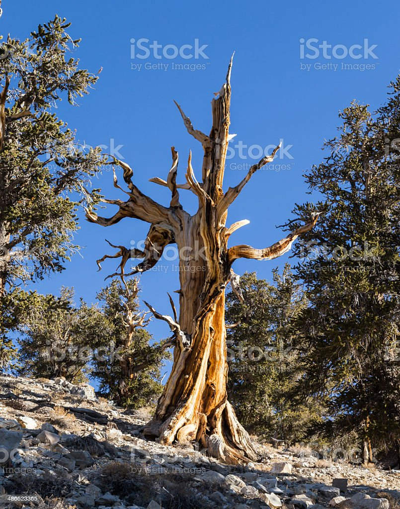 One Dead Bristlecone Pine, Several Living royalty-free stock photo